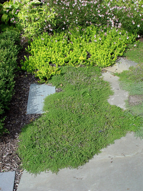15 Beautiful Plants And Ground Cover For Garden Pathways Home Design And Interior