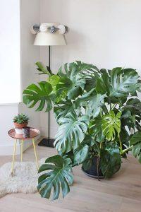 indoor-monstera-plant-arrangements