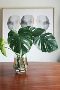 indoor-monstera-plant-grow-in-water