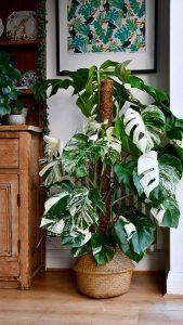 monstera-variegata-indoor-plant-decor