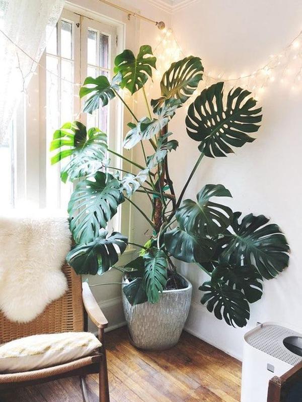 stylish-monstera-plant-for-living-room