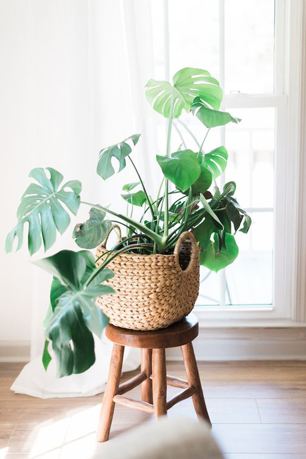 trendy-monstera-plant-ideas-for-indoor
