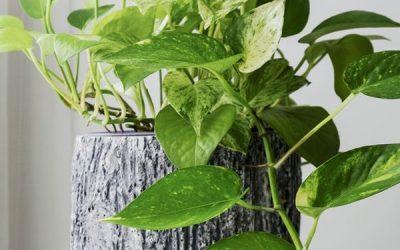 golden-pothos-bathroom-plant