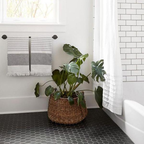 monstera-deliciosa-bathroom-plant