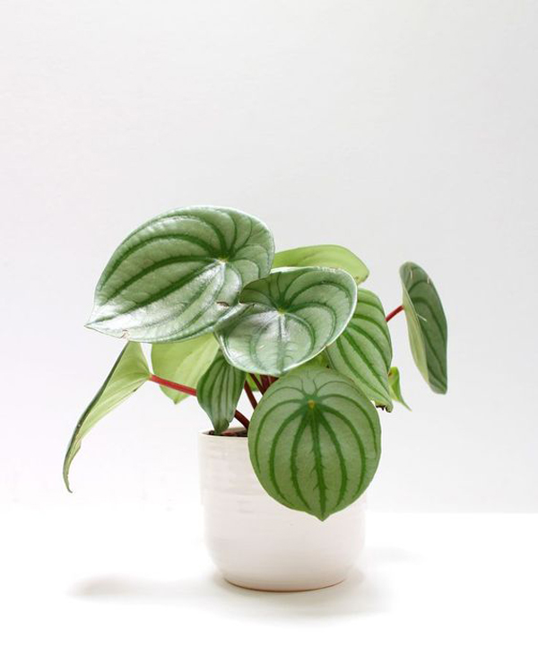peperomia-watermelon-bathroom-plant