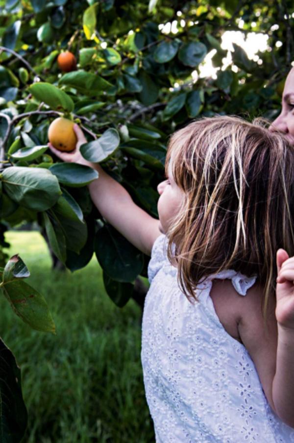 persimmons-tree-garden