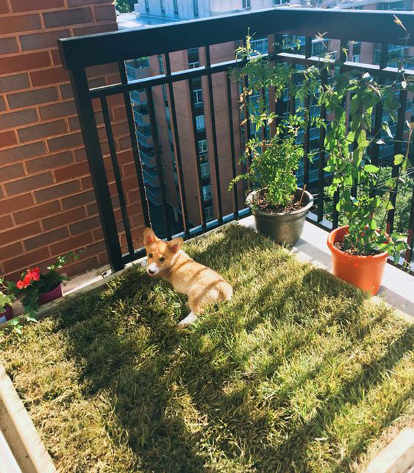 dog-grass-boxes-in-balcony