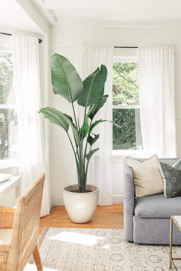 oversized-birds-of-paradise-houseplants