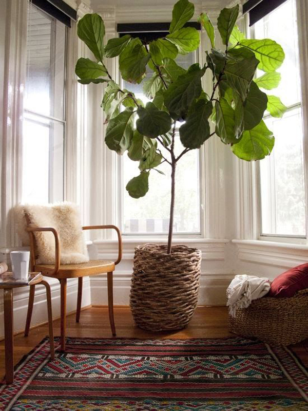 oversized-fiddle-leaf-fig-houseplants
