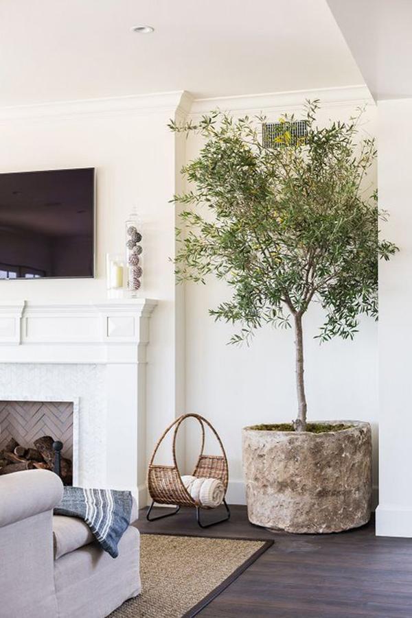 oversized-olive-tree-houseplants