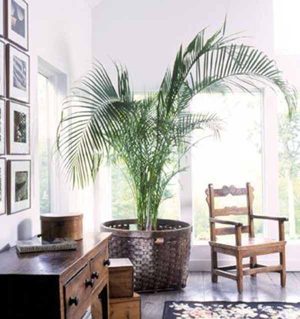oversized-parlor-palm-houseplants